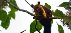 Wayanad Wild, Kerala, India!! Come meal time, and you will be greeted by the Giant Malabar Squirrel – the two- toned friendly giant who rarely leaves trees.