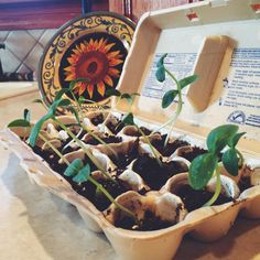 simply recycle an egg carton to prepare your seeds for planting.