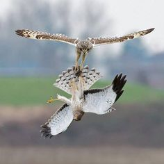 This is what an owl and a hawk battling it out midair for food looks like. pic.twitter.com/xWerwo1I1J