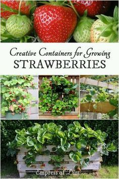 Creative Containers for Growing Strawberries with ideas from Empress of Dirt, Garden Therapy, and Lovely Greens. Strawberries are easy to grow in containers. Have a look at these creative and unusual ideas for your garden. Strawberry Garden, Strawberry Plants, Fruit Garden, Vegetable Garden, Edible Garden, Strawberry Shortcake, Organic Gardening, Gardening Tips, Kitchen Gardening