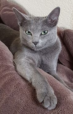 If you are looking for a truly unique and beautiful kitten you don't have to look much further than the Russian Blue breed. Delightful Discover The Russian Blue Cats Ideas. Blue Cats, Grey Cats, White Cats, Russian Cat, Russian Blue, I Love Cats, Cool Cats, Kittens Cutest, Cats And Kittens