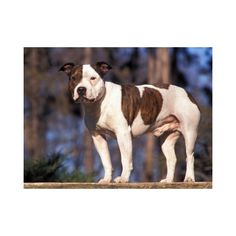 Staffordshire Bull Terrier Portrait Stretched Canvas Poster Print by