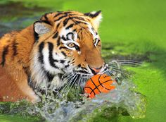 """Tiger Water Polo? -- [Actually: """"Ahimsa, beim Wassersport!!!"""" von Alfred T aus NRW]"""