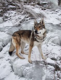 Czech Wolfdog. Not sure where to pin this guy but very beautiful