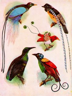 Antique Print, Birds of Paradise pink, chart 1800s beautiful wall art vintage…