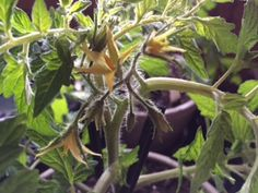 Tomato florets already starting-it was soooo cool to see !