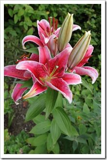 Star Gazer Lily. My bouquet at our wedding
