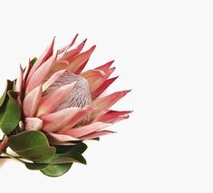 The Protea · Strong + Regal One of my all time favorites - the geometric shapes. The Protea · Stro Flower Power, My Flower, Botanical Art, Botanical Illustration, Wild Flowers, Beautiful Flowers, Cactus Plante, Protea Flower, Diy Garden