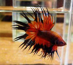 Orange Black BF CT Male