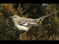 BIRDS: Mockingbird Song Serenade- Bird calls- This is the bird call we're hearing here in Central NC right now. A Northern Mockingbird that sings at night. A migratory bird.