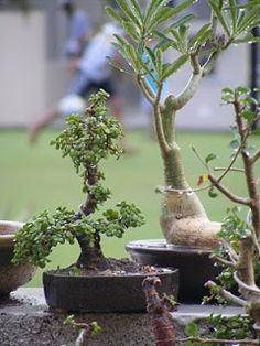 Jade as on July 2010 - After few monsoon showers, i had repotted this into a 1 Inch high, 5 inch wide tray. Jade Bonsai, Bonsai Art, Bonsai Trees, Jade Plants, Unusual Plants, Plant Species, Dwarf, Plant Holders, Breastfeeding