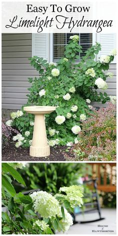 Limelight Hydrangea - gorgeous creamy white blooms with a touch of lime green peeking through and it keeps blooming all summer long.  What's not to love!