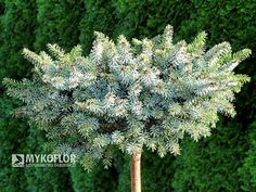 Picea omorika Morava