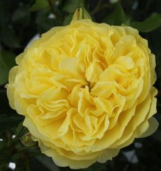 Solero ~ Floribunda Rose