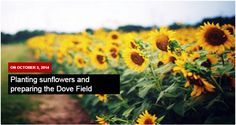 Planting sunflowers and preparing the Dove Field. Preparations is very large consider your dove hunting success. Learn basic gardening tips in planting sunflowers and how to prepare it for exciting dove hunting adventure.