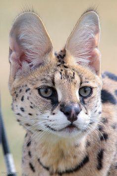 Serval @ Cincinnati Zoo & Botanical Garden