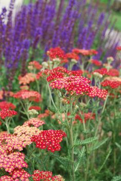 Great plant companions, like airy red yarrow and spiked purple salvia, showcase a winning combination of hot and cool colors.
