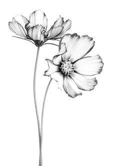 Flower Drawing Tutorials, Flower Art Drawing, Flower Line Drawings, Flower Sketches, Floral Drawing, Art Drawings Sketches, Tattoo Drawings, Cute Drawings, Pencil Drawings