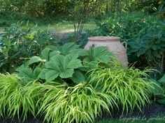japanese forest grass | ... proportioned vignette featuring a rodgersia and japanese forest grass