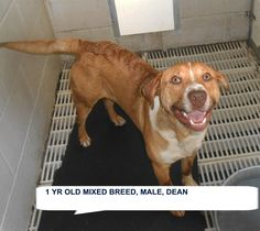 ★TO BE DESTROYED 5/26/15★ SUPER URGENT!!~~ Dean Breed:Labrador Retriever (mix breed) Age: Young adult Gender: Male Size: Medium Special needs: hasShots, Location: Elizabethtown, NC  Read more at http://www.dogsindanger.com/dog/1431486347568#Z0HUlXg7VdeU8dEm.99