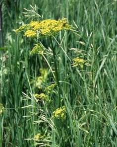 QUAD CITIES (KWQC) – A poisonous plant you may not recognize can cause a painful reaction if you come into contact with it. Wild parsnip is growing across parts of the Midwest right now, including …