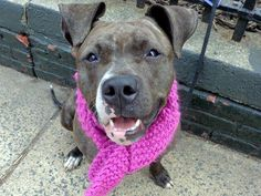 URGENT!!TO BE DESTROYED 3/29/13 Manhattan Center - P  My name is CALYPSO A/K/A WAXIE. My Animal ID # is A0959970. I am a female br brindle and white pit bull mix. The shelter thinks I am about 4 YEARS old. No one came looking for this little girl after she got lost. Can you?  Please consider adopting or foster her by tomorrow https://www.facebook.com/photo.php?fbid=587459811266902=a.275017085844511.78596.152876678058553=1--Please save this Sweet Girl!