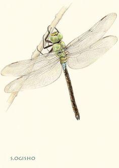 ギンヤンマ Pictures Of Insects, Pictures To Draw, Colored Pencils, Moth, Butterfly, Japanese, Dragonflies, Wings, Animals