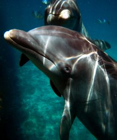 """Dolphins Amerika and Atena playing """"photo bomb"""" :D"""