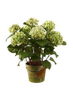 Pot Hydrangea