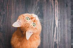 An orange cat on a dark hardwood floor, looking up.