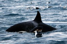 """11-1-2016, Sighting update off Iceland by Marie of Laki Tours. """"Roulette"""" (SN043) and her newborn baby """"Wavewalker"""""""