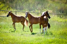 A friend's lovely group of Marchador fillies (2011), With 4 Seasons Lealdade, 4 Seasons Poesia-Gim and 4 Seasons Tapi's Pinga. 4 Season's Marchador ranch breeds the most spectacular Marchador horses. They the only International Mangalarga Marchador Breeder in the United States.