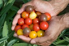 Tomato Flavor: Handful of multicolored cherry tomatoes