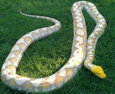Purple Albino Reticulated Python. Some stunning colours and patterns!
