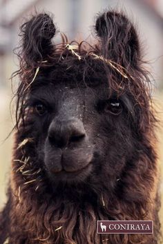 Beautiful black eyes <3 :)  #llama #alpaca #coniraya