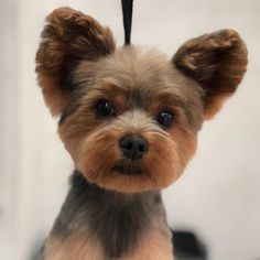 Yorkshire Terrier – Energetic and Affectionate Dog Grooming Styles, Pet Grooming, Cute Dogs And Puppies, Baby Dogs, Perros Yorkshire Terrier, Yorkie Hairstyles, Pet Shop, Dog Haircuts, Puppy Cut