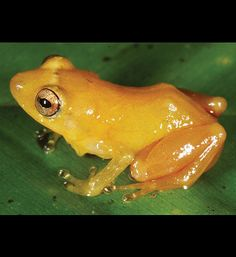 Yellow Dyer Rain Frog, weird new animal discoveries