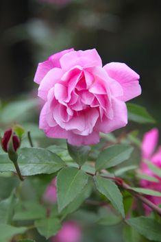 -- ©今井秀治 - gardenstory.jp Happy Eid Mubarak, Rose, Plants, Flowers, Pink, Roses, Flora, Plant
