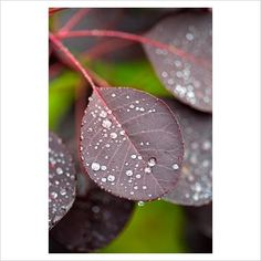 GAP Photos - Garden & Plant Picture Library - Cotinus - GAP Photos - Specialising in horticultural photography