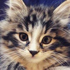 #perfect #symetry #symetric #stripes #tiger #babytiger #petstagram #farm #adorable #baby #cat #pet #bigeyes #makeup #bornwithmakeupon #eyeliner Kittens, Cats, Big Eyes, Eyeliner, Stripes, Photo And Video, Makeup, Animals, Instagram