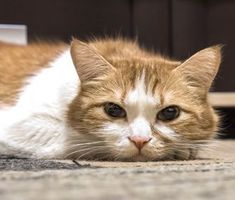 Is it normal for a 17 year old cat to not act like it is old and arthritic? Sick Cat Symptoms, Cat Site, Cat Years, Cats And Cucumbers, Online Pet Store, Old Cats, Cat Behavior, Cat Health, Health Tips