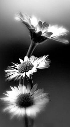 Beautiful nature daisy black and white flowers photography Black And White Flowers, Black And White Pictures, White Art, Foto Macro, Fotografia Macro, Photo Black, Macro Photography, Photography Flowers, Portrait Photography