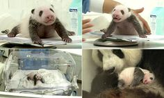 Panda cub makes adorable efforts to stand up for the first time
