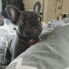 """Wait, whaaaat?"", Penelope, a confused French Bulldog Puppy, @penelope.thefrenchie"