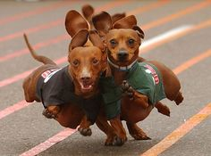 Wiener Dog Racing - where every dog is a wiener!