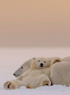 polar bears //