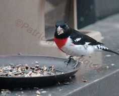 "Mr. Rose-Breasted Grosbeak (Wilson) is part of a ""story"" on TLLG's Blogger Pages @ 2013-04-19 at 06-38-25"