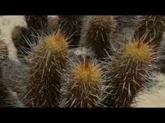 Haageocereus Plants, Plant, Planets