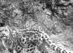 a camera trap photo of Agnes, a snow leopard monitored through the Panthera/Snow Leopard Trust (SLT) research study in Mongolia's Tost Mountains. To learn more about this study, visit http://www.panthera.org/species/snow-leopard/mongolia