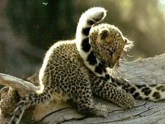 Leopard Cub Playing With Mother's Tail    Photograph by Beverly Joubert    Usually solitary animals, leopard cubs live with their mothers for two years, learning how to hunt. Cubs are born in pairs and are grayish with no discernible spots.